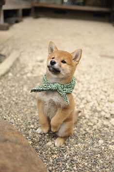 shiba inu. I fell in love with one of these in the pet store!