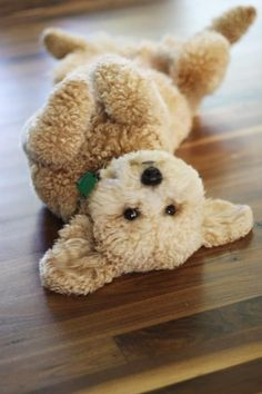 "A mini Golden Doodle. I thought this was a toy!   Looks like a ""Gund"" Teddy…"