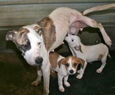Gretchen & Pups (1M, 1F) is an adoptable American Bulldog Dog in Chipley, FL. Gretchen is a 2 to 3 year old female Bulldog/Hound cross, about 30 pounds and very thin. She arrived at the shelter with h...