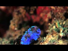 The secret to the sea sapphire's colors and invisibility - YouTube