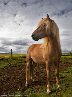 """Icelandic Horse""   [Photographer Cesar March - August 12 2008]'h4d'121002"