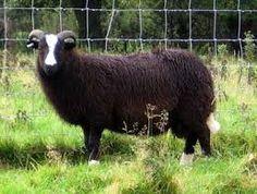 Image result for balwen sheep Pet Sheep, Sheep And Lamb, Lambs, Goats, Cow, Knowledge, Animals, Image, Animales