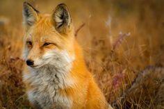 Fox, Dierlijke