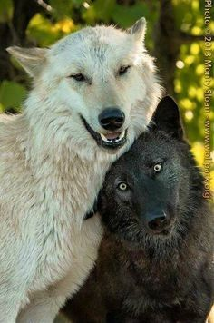 The white wolf looks drunk off his ass and the black wolf is like wtf am I friends with this guy? Some people can miss judge a instance that will lead to something total different! Wolf Photos, Wolf Pictures, Animal Pictures, Animals And Pets, Funny Animals, Cute Animals, Wild Animals, Baby Animals, Beautiful Creatures
