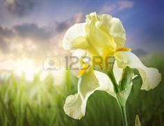 yellow iris flower: Beautiful flower Yellow iris on a background of the sunset sky