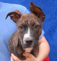 Ryder is a wonderfully playful, excitable baby boy debuting for adoption today at Nevada SPCA (www.nevadaspca.org).  He is a Boxer mix with stunning brindle coloring, expected to grow to medium size, about 3 months of age and now neutered.  Ryder is inquisitive and fascinated by everything and everyone, so please take safety precautions for him throughout your home and yard.  He may be compatible with dogs, but reportedly needs to be fed separately from them.