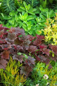 A tight detail of a beautifully-matched color and foliage combination in this residential garden, featuring a deep red leafed heuchera, a vibrant chartreuse green sedum, and bronze-tipped heathers.