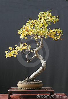 Birch bonsai in fall color