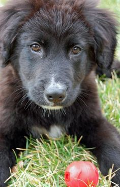 Border collie & lab mix