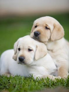 Yellow labrador retriever puppies Photographic Print by Ron Dahlquist - Cats and misc - Perros Graciosos Cute Puppies, Dogs And Puppies, Chubby Puppies, Small Puppies, Corgi Puppies, Baby Animals, Cute Animals, Wild Animals, Pet Dogs