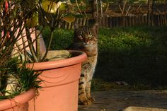 Behind The Planter - European shorthair cat in a shelter in Vighizzolo, Lombardy, Italy. Shelter, Planter Pots, Italy, Cats, Animals, Italia, Gatos, Animales, Animaux