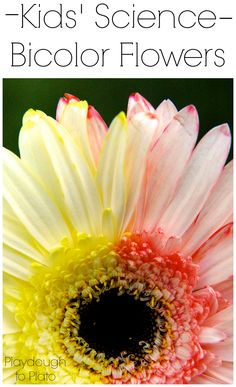 Super awesome kids' science experiment. Make flowers that have TWO colors!!