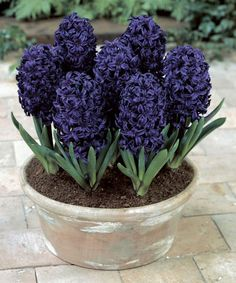 This Midnight Hyacinth Bulbs - Set of Four is perfect! #zulilyfinds