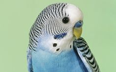 Hi there! Welcome to BUDGIE LIFE. Here you can learn all about baby budgies, budgie breeding, budgie names, budgie training, budgies as pets, how to tame a budgie, budgie diet and allot more. Enjoy!!!  Register now to our Budgie Forum and find out more about your favorite pet from experienced breeders.