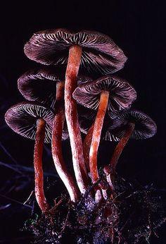 Champignons violets