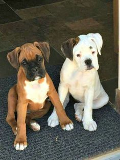 I wish these two lived with me! <3 #BoxerDog