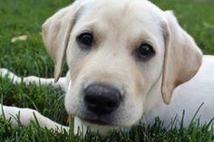 Boo the Labrador Retriever