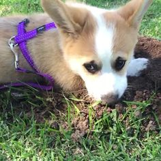 "Watch Sir Duke The Corgi's Vine, ""Duke being a distructo """