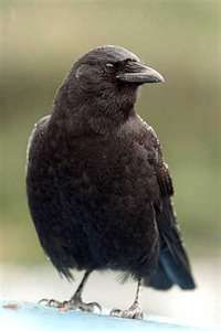 Love Crows!