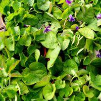 Sweet Violet: Viola odorata