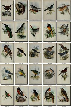 artscult.com - all images from artvintages.com Instant digital download of 255 vintage pictures of birds in high resolution (300 dpi, sizes from 1700x2800 px to 2600x4200 px). Look at pictures to see sizes in pixels (click Zoom, divide size in pixels on 300 - youll get size of print in
