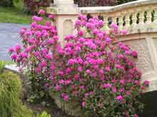 "PJM Rhododendron brighterblooms.com Blankets of Purple Blooms on a Compact Shrub  Called ""the most adaptable and easiest rhododendron to grow.""  Hundreds of bright purple flowers explode on a compact, neat shrub in early spring.!"