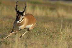 World Fastest Animal Pronghorn Antelope