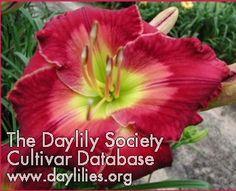 Daylily Christmas Celebration