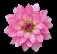 Perfect dahlia. A little miracle