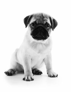 Is the Pug the right dog breed for you? Information on the Pug including breed size, colours, temperament, health, pet insurance & more. Pet Health Insurance, Best Pet Insurance, Puppy Sitting, Feline Leukemia, Pug Puppies, Dog Barking, Wild Dogs, Dog Portraits, Dog Care