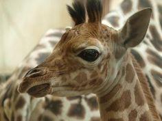 """Het eerste gedicht dat Emile voor Marte schrijft in de schoolkrant heet """"Pasgeboren girafje"""""""
