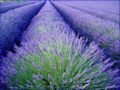 beautiful Lavender field at Joie de Lavande, Knowlton Lavender Farm, Eastern Townships, Quebec, Canada Lavender Blue, Lavender Fields, Champs, Canada Pictures, Floral Design Classes, East Coast Road Trip, Beautiful Farm, Beautiful Scenery, Mediterranean Garden