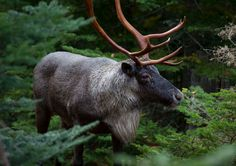 The sound of silence: take a pilgrimage to Ontario's awe-inspiring Woodland Caribou Good Rum, Ontario Parks, Van Gogh Art, Camping Spots, A Whole New World, All Gods Creatures, Pilgrimage, Cool Watches, Woodland
