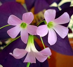 Purple Rain Shamrock  The Love Plant  Edible  Oxalis triangularis 5 Bulbs -- Check this awesome product by going to the link at the image.