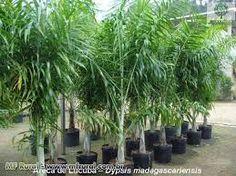 Resultado de imagem para palmeira areca de locuba