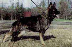 German Shepherd - Steffi vom Wotansblut