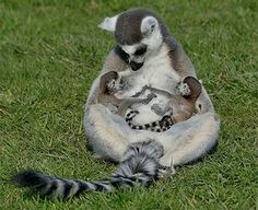 Ring-tailed Lemur with her twin babies...so cute and such love. <3