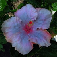 Taiwan Hibiscus - Linda Lee Name Origins, Blue Hibiscus, Taiwan, Planting Flowers, Orchids, Exotic, Tropical, Plants, Natural Beauty