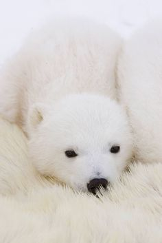 We can hardly even see this gorgeous polar cub but her button nose and eyes give her away! Elva Polar Cub, Baby Polar Bears, Grizzly Bears, Cute Baby Animals, Animals And Pets, Funny Animals, Wild Animals, Beautiful Creatures, Animals Beautiful