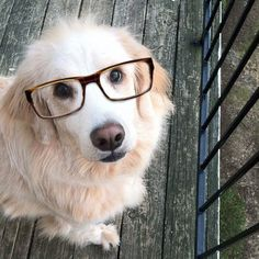 9fc104f5c7 dogs wear fake glasses just like me! Dog With Glasses