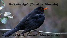 Feketerigó (Turdus merula) Canario, Music, Youtube, Blackbirds, Animals, Cardinals, Friends, Winter Time, Birds