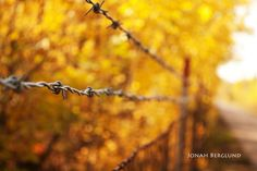 I got some criticism over this photograph -- people ask me why on earth I would combine barbed wire and fall colors. Why not! The rustic colors of the metal fence compliment the golden glow of the trees. I am going to get a nice-size print of this and hang it on one of my walls. I love it! What are your thoughts?