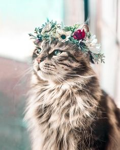 Beautiful Flower Crowns For The Most Majestic Animals – The first flower crown college professor Yarely made was for her dog, Australian shepherd Freya. Pretty Cats, Beautiful Cats, Animals Beautiful, Cute Baby Animals, Animals And Pets, Kittens Cutest, Cats And Kittens, Cats Meowing, Siamese Cats