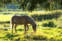 Finnhorse - Suomenhevonen | www.cartinafinland.fi Horse Pictures, Funny Animal Pictures, Animals And Pets, Funny Animals, Fjord Horse, Iron Age, Summer Solstice, Horse Love, Country Life