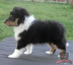 Cutie lil sheltie pup. Love the tri-color. Mom had her baby Star!
