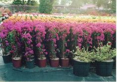 Image result for bougainvillea trellis