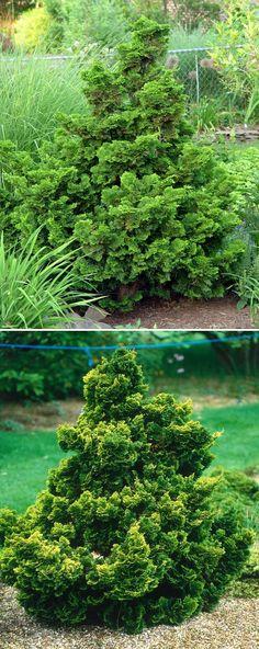 Dwarf Hinoki Cypress Trees  #evergreen #gardens