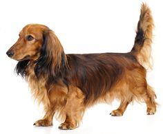 Dachshund, Long Haired