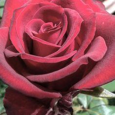 Camadas de vermelho e beleza no meu jardim  #jardim #garden #flower #flor #flores #flowers
