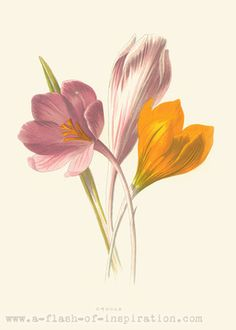 Crocus Vintage Botanical Illustration